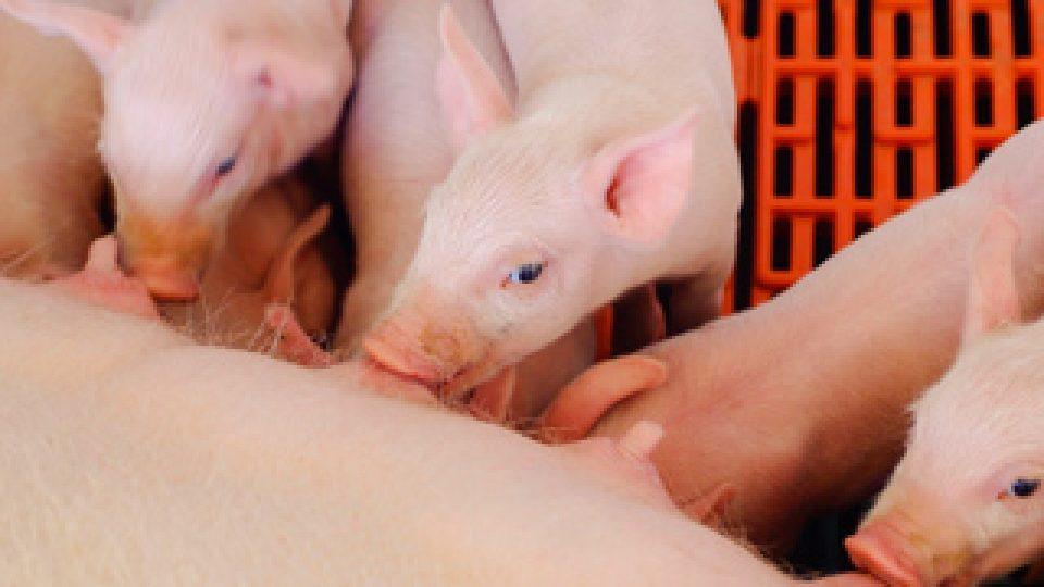 Sector Porcino intensifica su trabajo para lograr una adecuada gestión de olores