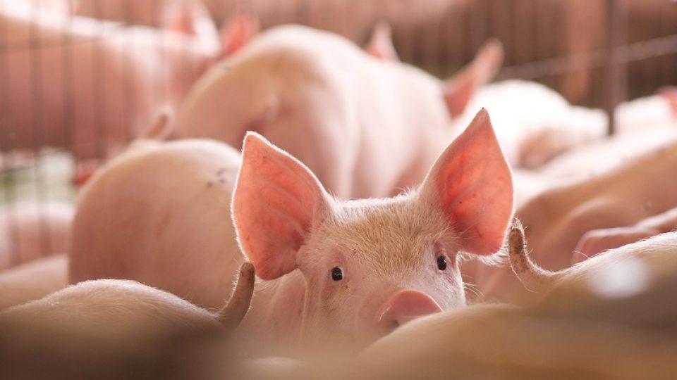 Alerta por peligrosa peste africana que afecta a cerdos y jabalíes
