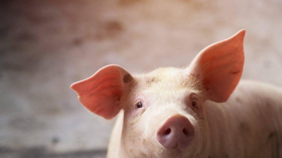 Actualización Peste Porcina Africana, PPA: Propagación presenta giros en las últimas semanas