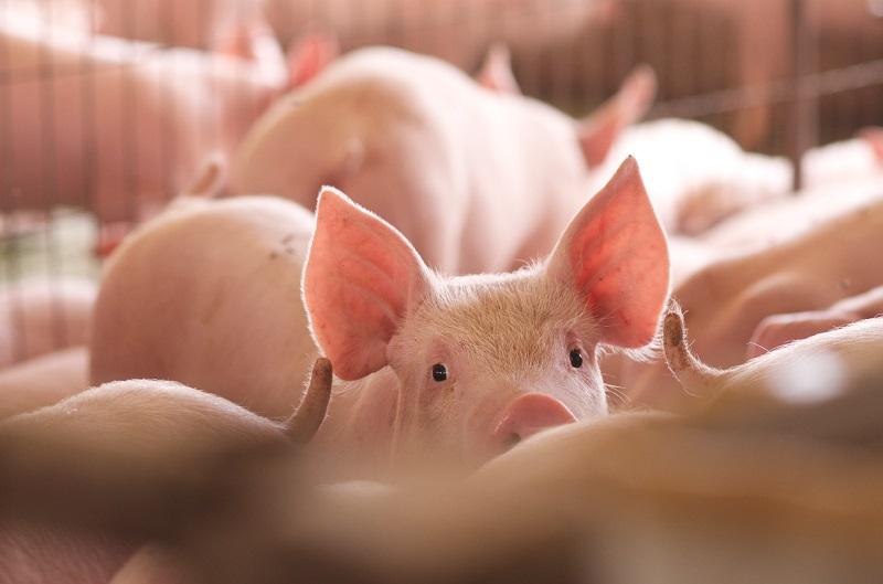 Los síntomas en la población porcina son fiebre alta, pérdida de apetito, hemorragias de la piel y órganos internos. No existen vacunas contra el virus.